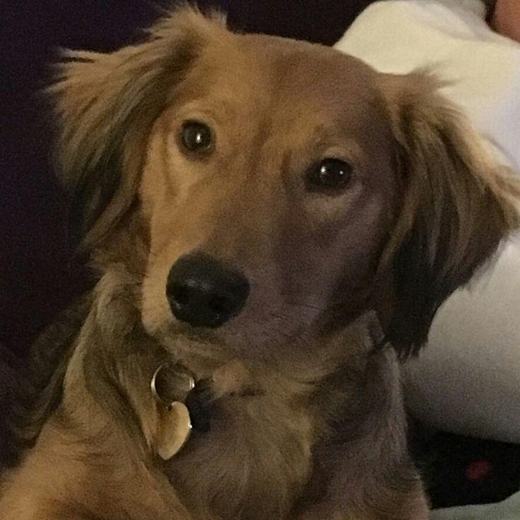 I've grown well #dachshund
