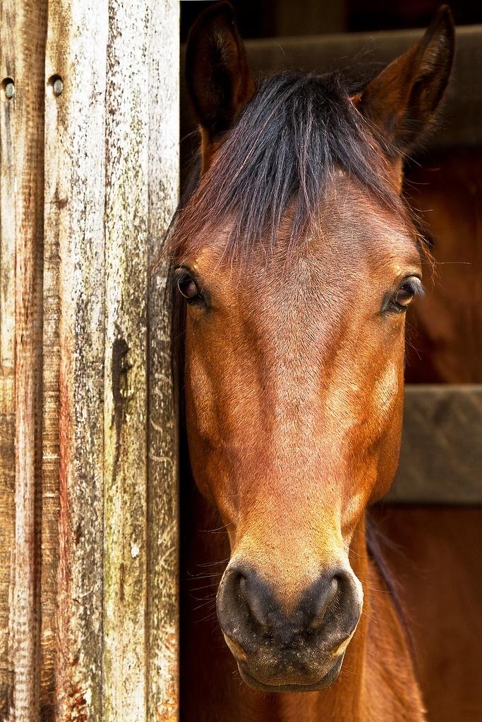 Beautiful chestnut horse | Horse Power | Pinterest