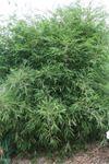 Himalayan Blue Mountain Bamboo for sale buy Borinda boliana