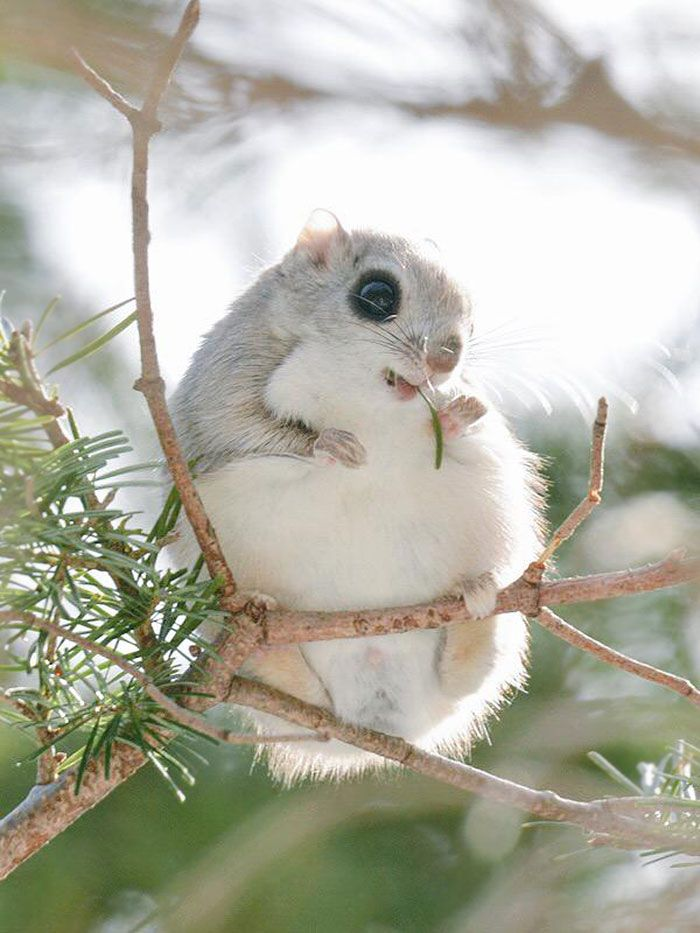 Ezo momonga es una subespecie de la ardilla voladora siberiana endémica de Hokkaido, Japón