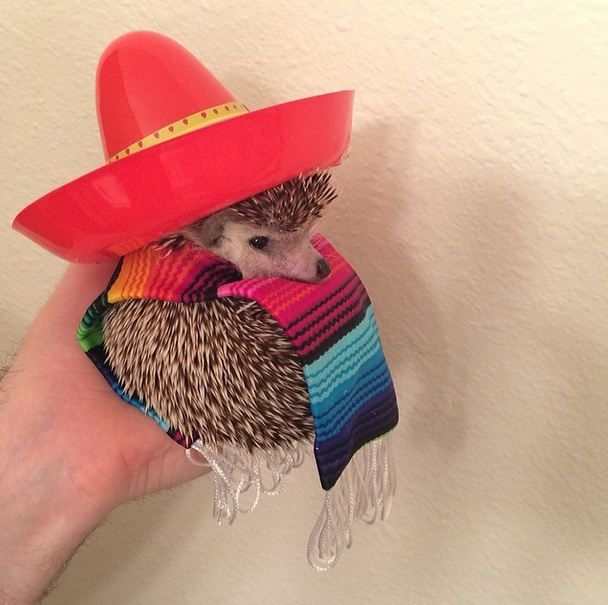 Biddy the hedgehog in a party hat for his birthday | Meet Biddy: The travelling hedgehog that has taken the internet by storm - Yahoo News UK