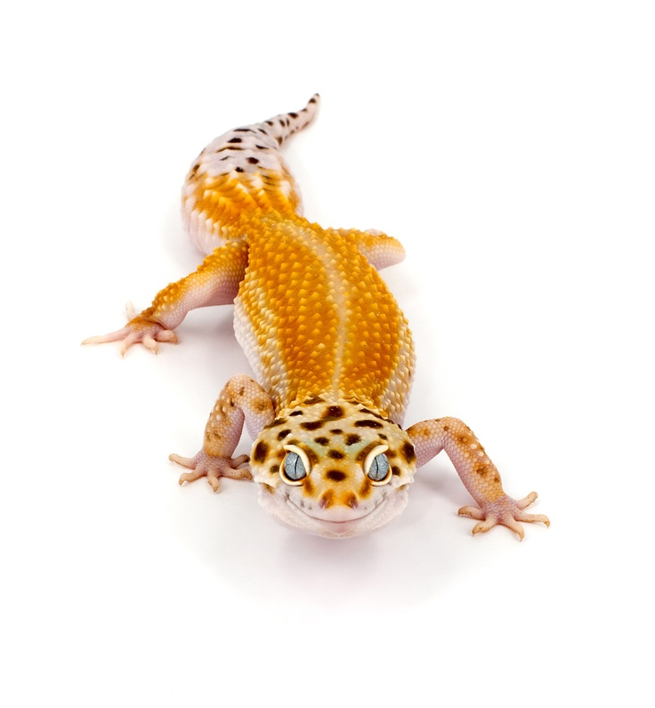 355 best images about leopard geckos on pinterest the - Bearded dragon yawn ...
