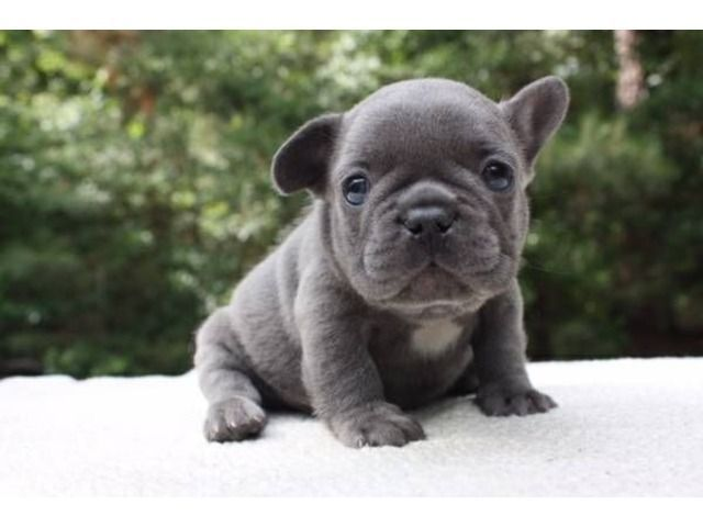 French Bulldog Puppies Available Buldog French Bulldog Puppies