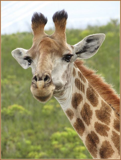 """""""You looking at me!"""" Female Giraffe at Botlierskop, Game Reserve, South Africa - photo by Robin Denton, via Flickr"""