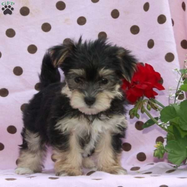 Beauty Greenfield Puppies In 2020 Morkie Puppies Puppies For Sale Morkie Puppies For Sale