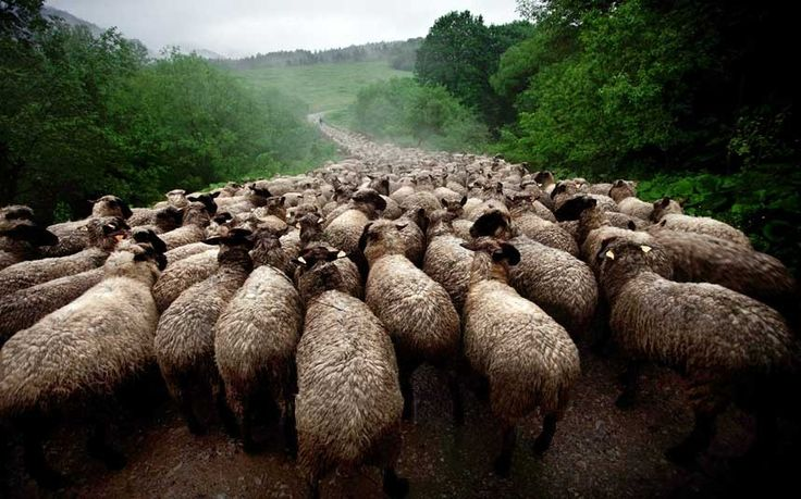 """""""Sheep River"""", taken in the Bieszczady, Poland I love how this photo is comical in a way."""
