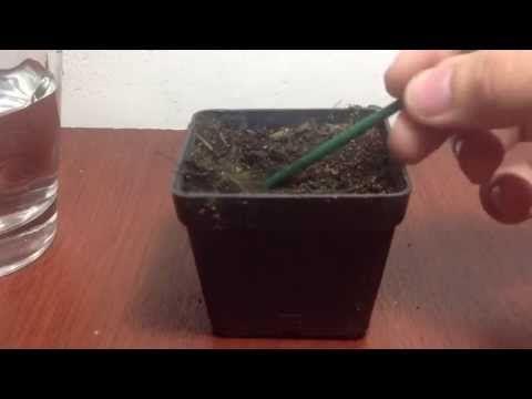 Este video muestra 3 maneras de germinar una semilla de canabis, es el primer paso para un cultivo y es el más importante , si tenes alguna pregunta la dejas abajo