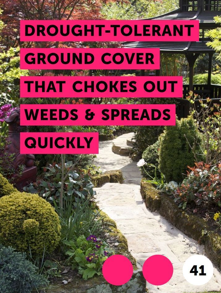 Drought-Tolerant Ground Cover That Chokes Out Weeds & Spreads Quickly