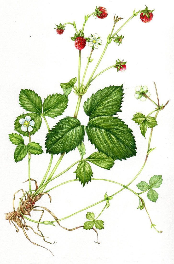 Wild strawberry botanical illustration step by step by Lizzie Harper natural history illustrator
