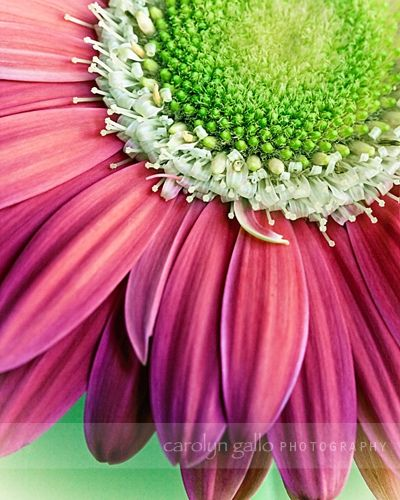 pink and green daisy