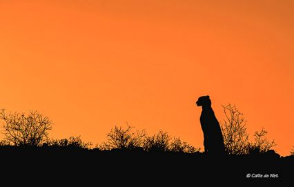 Who'd you like to share this view with?  Cheetah in the Kgalagadi Transfrontier Park by Wildimages.