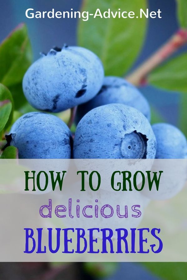 Growing Blueberries is not difficult if you follow a few essential guidelines…