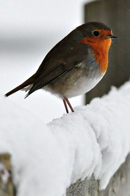 Bird in snow, UK