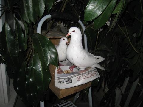 MickaCoo Pigeon & Dove Rescue    Friday & Freckles
