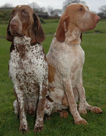 five bracco italiano dogs - photo #27