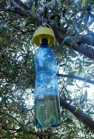 Un interessante discussione sulla lotta alla mosca dell'ulivo (forum: compagniadelgiardinaggio.it)