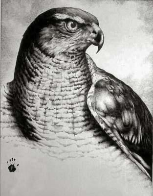 Redtail Hawk Drawing