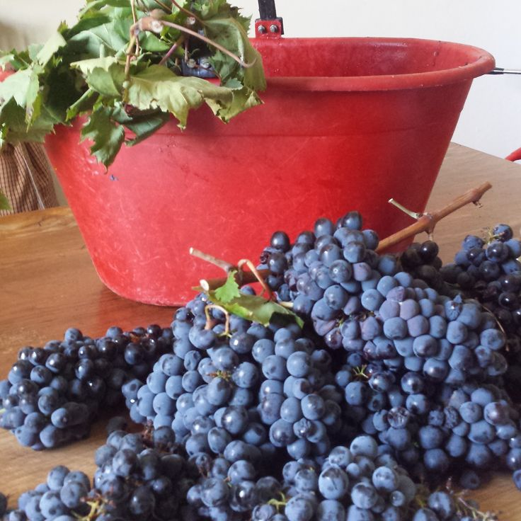 our grapes- Sangiovese