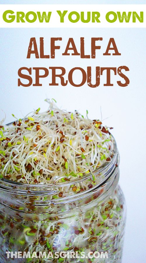 Grow your own Alfalfa Sprouts - SO EASY & way cheaper than the ones from the grocery store! They're safer too. Store bought sprouts are grown on a water holding pad that creates bacteria that aren't good for you. Home grown are safe, just make sure to rinse them well twice a day. Fun, nutritious and soooo good.