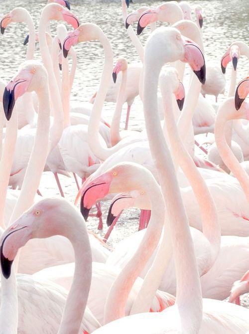 light Pink flamingos! (5) Tumblr