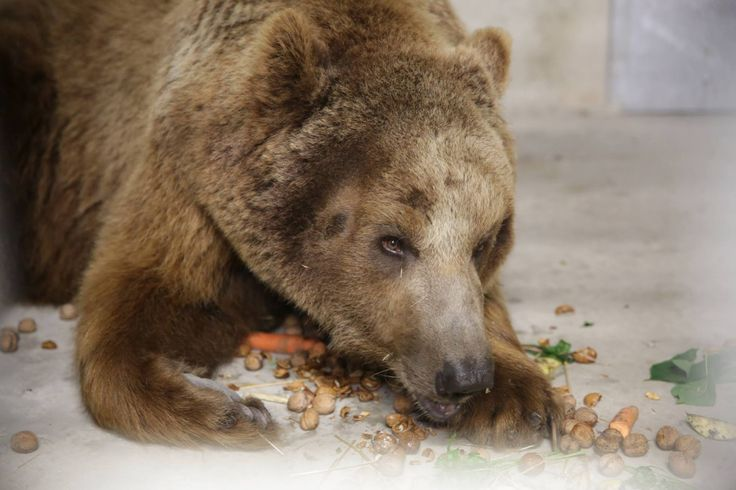 Do Poznania trafił niedźwiedź zabrany z cyrku. Pozbawiono go pazurów