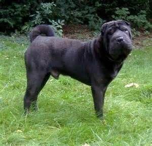 black shar pei dog - Bing Images