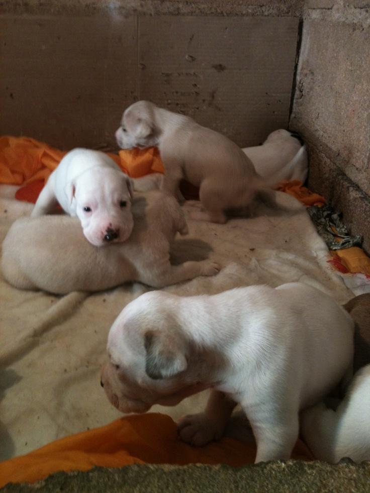 #Pitbull #Puppy Recién nacidos