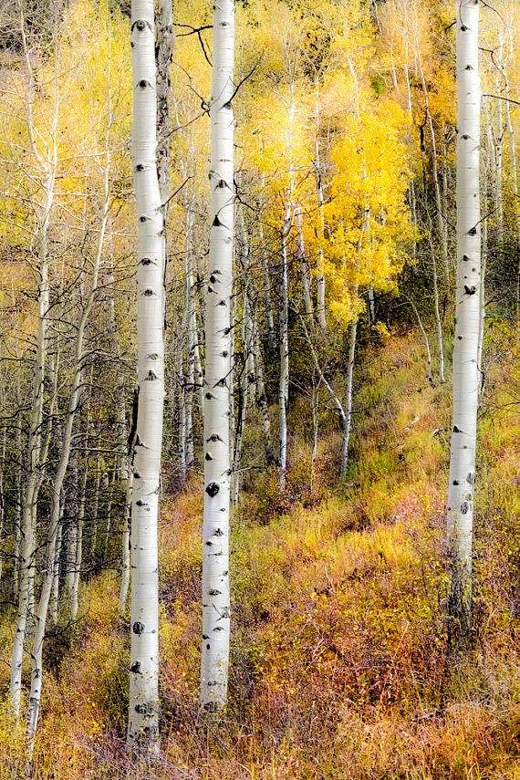 Aspen Trees Fall Tree Decor Colorado