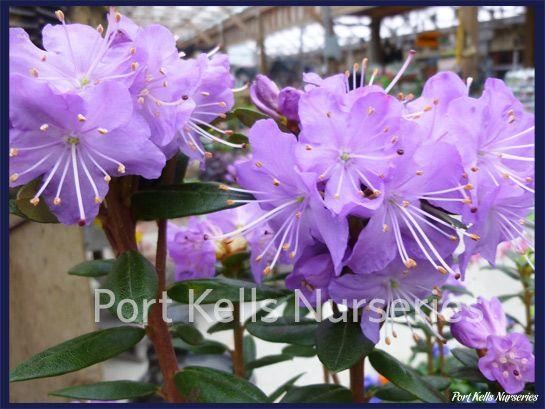Rhododendron 'Bob's Blue'