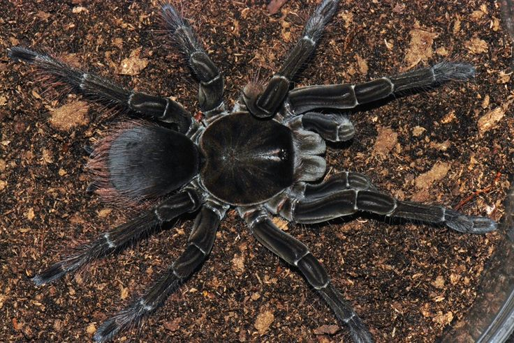 Theraphosa stirmi. one of the largest tarantulas ...