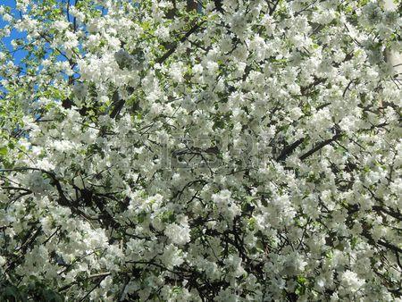 Усеянном цветами яблони ветви