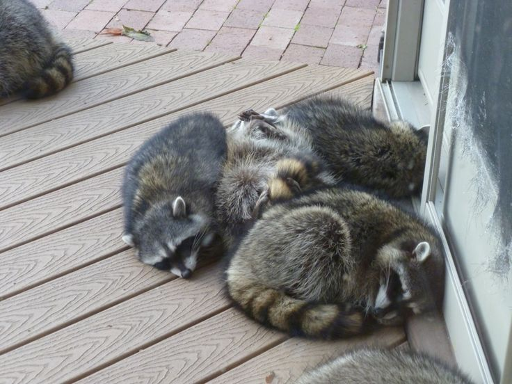 : Raccoons Multiple, Masked Bandits, Silly Animals, Cutie Coons, Animals Masked, Heart Explodes, Awwwwwsome Animals, Aunt, Safari Backyard