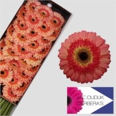 Gerbera: Prosecco    Dutch Farm Direct - Two Days A Week - Wednesday & Friday delivery. We ship To All 50 States!!     Create Your Own Combo Boxes at Farm Level. Wholesale To The Trade Only.   No Sign Up Fees Or Obligations - No Fuel Or Box Charges. Free FedEx   Shipping Is Always Included In The Price!!    Please follow us here on   Facebookhttps://www.facebook.com/ibuyflowersllc/