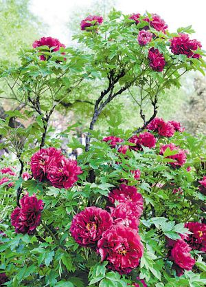 peony tree - My next flower purchase!