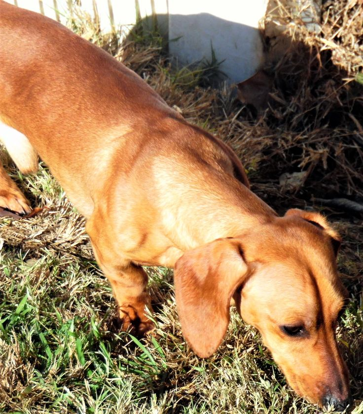 Hi I'm Radar ! Santa told me that you asked for a #young #happy #friendly #dachshund boy ! I'm excited for you to get my #adoption papers filled out ! Can't wait to join your family !