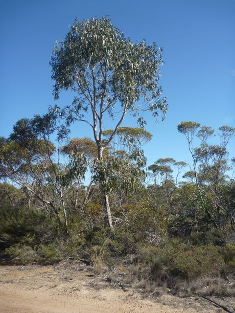 The River Gum at the front of the house, near the fence of the donkey paddock
