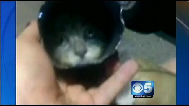 Kitten with head caught in soda can rescued from manhole - CBS 5 - KPHO: Head Caught