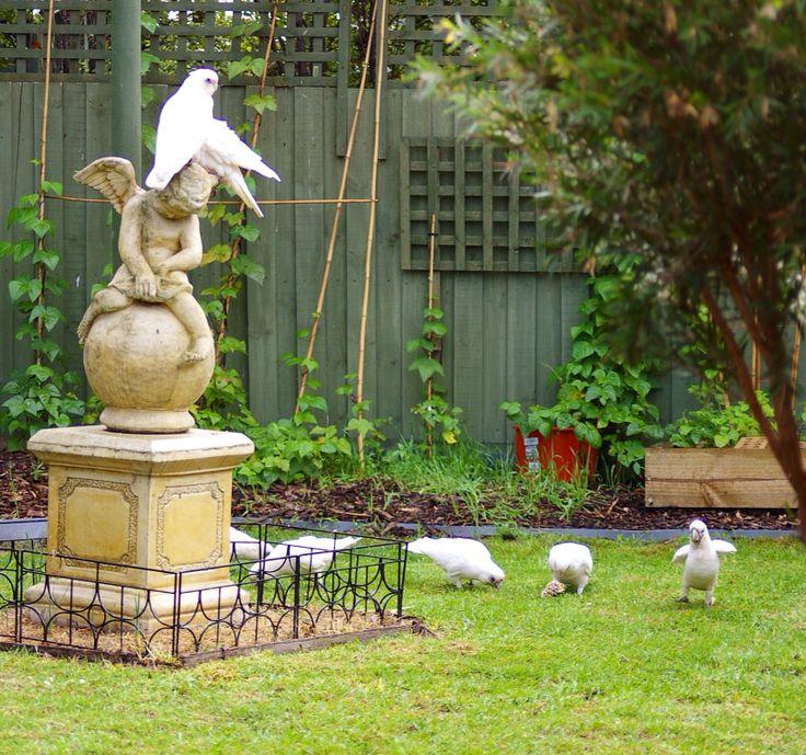 Visitors to my garden 7. Corellas invade the lawn