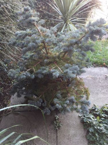 Bruce Spruce Tree 4.5' X  2.5' Potted-Pine-Colorado Blue Spruce-in Essex-Xmas Garden & Patio:Plants, Seeds & Bulbs:Plants & Seedlings:Trees #forcharity