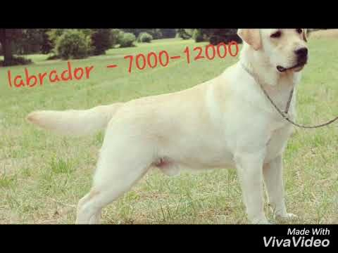 Labrador Retriever Puppies Price In India : dog price list
