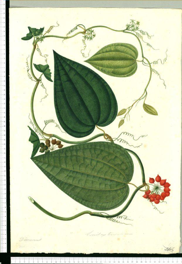 Dioscoreas - Dibujos de la Real Ecpedición Botánica del Nuevo Reino de Granada (…