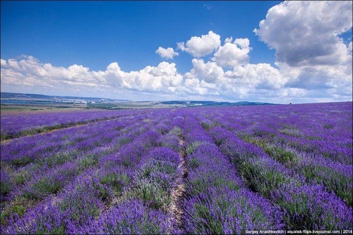 Lavenderfields03 Крымский Прованс. Лавандовые поля в Крыму
