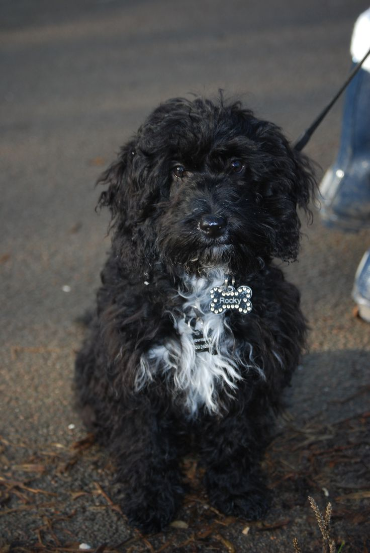 New puppy cockapoo  5 months old Black  white  Tuxedo Crazy but loving  the dog  not me