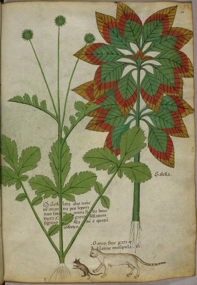 Miniatures of plants, and a cat and mouse - (Tractatus de Herbis - Sloane 4016 f. 40)