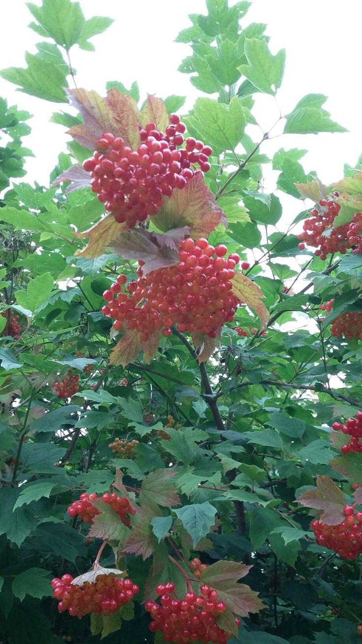 Beautiful Amerianischer Schneeball pflanzen blumen garten flowers plants garden pics royaltyfree