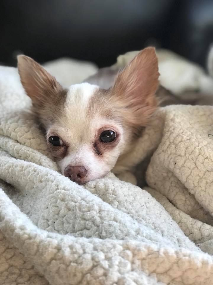 Chihuahua Dog For Adoption In Minneapolis Mn Adn 786136 On Puppyfinder Com Gender Female Age Senior Dog Adoption Chihuahua Dogs Chihuahua
