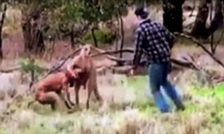 Man Punches Kangaroo To Save Dog From Being Strangled http://www.toomanly.com/7261/man-punches-kangaroo-save-dog-from-being-strangled/
