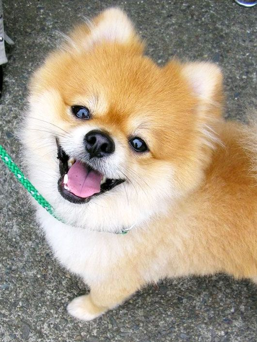 Pommies!!!Cutest Dogs, Smile Dogs, Dogs Puppies, Pomeranians, Happy Dogs, Pom Pom, Beautiful Creatures, Animal, Pets Products