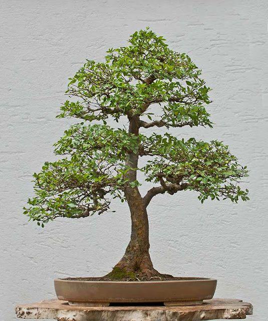 pics chinese elm bonsai | Walter Pall Bonsai Adventures