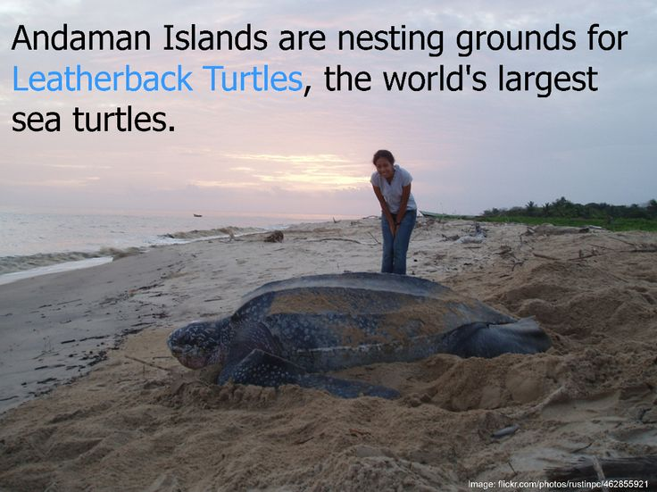 The leatherback turtles visit Andaman Islands, India every year between October to March for nesting. These turtles are the largest of living sea turtles, growing up to 6-8 feet and weighing as much as 900 kg. Their peak nesting season is between from mid-November to mid-January. #Andaman   #India   #LeatherbackTurtles